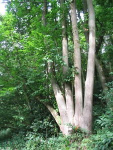 A mature sweet chestnut coppice stool near Stedham, West Sussex