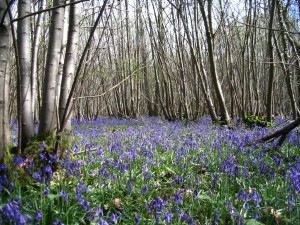 Bluebells in coppice woodland near Chichester