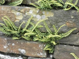 http://www.terrafirmaconsultancy.com/landscape-architect-blog/wp-content/uploads/2016/02/ferns-on-wall.jpg